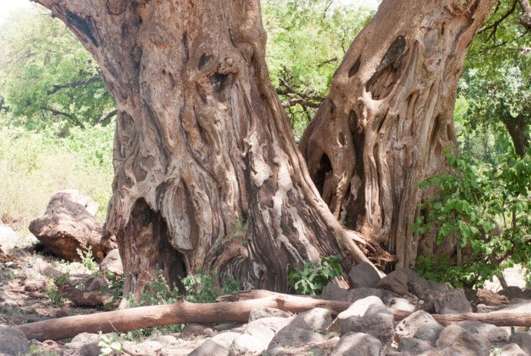 Tanzanie Baobab Janv 2017