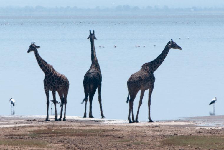 Tanzanie Girafes Janv 2017