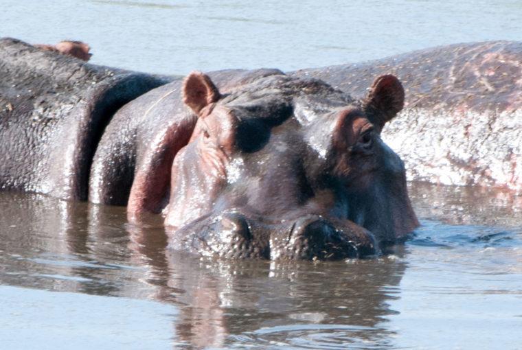 Tanzanie Hippo Janv 2017