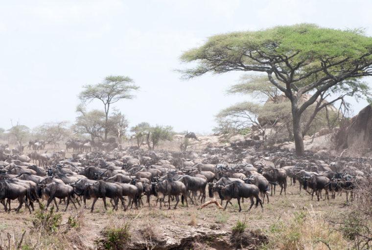 Tanzanie La migration Janv 2017