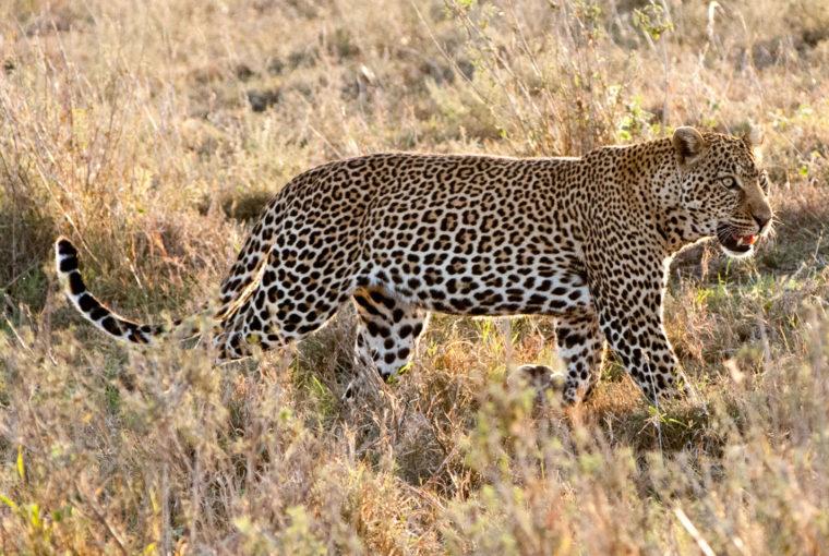 Tanzanie Leopard Janv 2017