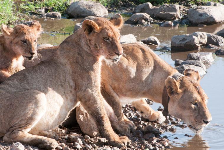 Tanzanie Lions Janv 2017