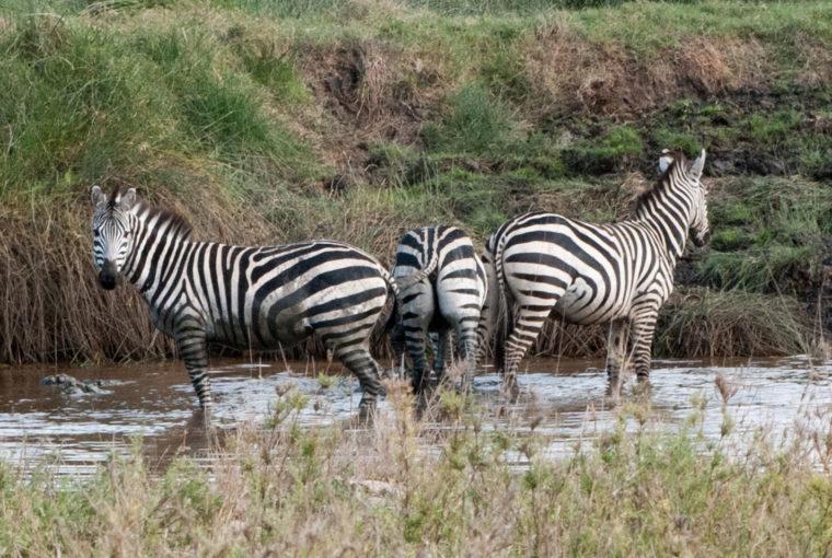 Tanzanie Zebres Janv 2017