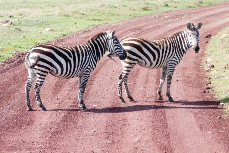Tanzanie Zebres sur la route Janv 2017